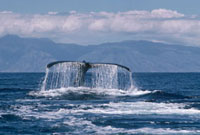 Humpback Whale (Megaptera novaeangliae) tail,Hawaii