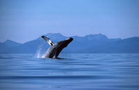 Humpback Whale (Megaptera novaeangliae) breaching,Hawaii