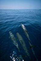 Bottlenose Dolphin (Tursiops truncatus) trio surfacing,Shar