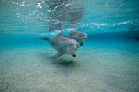 Bottlenose Dolphin (Tursiops truncatus) underwater pair,Haw