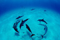 Atlantic Spotted Dolphin (Stenella frontalis) group,Bahamas