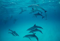 Atlantic Spotted Dolphin (Stenella frontalis) social group o