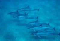 Spinner Dolphin (Stenella longirostris) group underwater,Ha