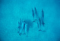 Spinner Dolphin (Stenella longirostris) group underwater,Ha
