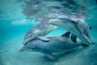 Bottlenose Dolphin (Tursiops truncatus) underwater trio,cap