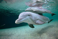 Bottlenose Dolphin (Tursiops truncatus) underwater pair,Haw 01543025375| 写真素材・ストックフォト・画像・イラスト素材|アマナイメージズ