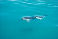 Dusky Dolphin (Lagenorhynchus obscurus) mother and calf surf