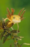 Great Crested Newt (Triturus cristatus) larva,underwater,w