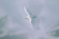 Ivory Gull (Pagophila eburnea) flying,Siberia