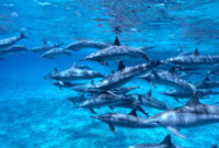 Short-beaked Common Dolphin (Delphinus delphis delphis) pod