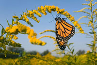 Monarch (Danaus plexippus) butterfly feeding on nectar of Go