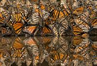 Monarch (Danaus plexippus) butterflies gathering to drink wa