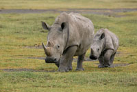 White Rhinoceros (Ceratotherium simum) mother with juvenile