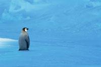 Emperor Penguin (Aptenodytes forsteri) chick,Riiser-Larsen