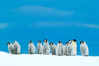 Emperor Penguin (Aptenodytes forsteri) chicks with one adult