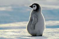 Emperor Penguin (Aptenodytes forsteri) chick,Atka Bay,Anta