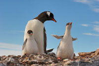 Gentoo Penguin (Pygoscelis papua) mother with two chicks�CAn
