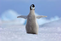 Emperor Penguin (Aptenodytes forsteri) chick with wings spre