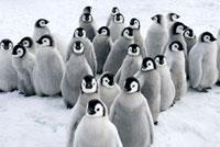 Emperor Penguin (Aptenodytes forsteri) chicks,Snow Hill Isl