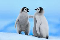 Emperor Penguin (Aptenodytes forsteri) pair,Snow Hill Islan 01543025870| 写真素材・ストックフォト・画像・イラスト素材|アマナイメージズ