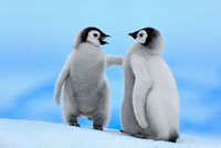 Emperor Penguin (Aptenodytes forsteri) pair�CSnow Hill Islan