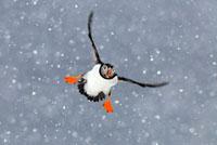Atlantic Puffin (Fratercula arctica) flying in heavy snowfal