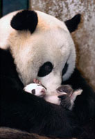 Giant Panda (Ailuropoda melanoleuca) mother and two week old