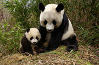 Giant Panda (Ailuropoda melanoleuca) adult and baby in bambo