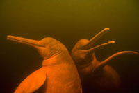 Amazon River Dolphin (Inia geoffrensis) pair swimming,Rio N