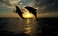 Bottlenose Dolphin (Tursiops truncatus) pair leaping at sunr
