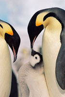 Emperor Penguin (Aptenodytes forsteri) parents with chick,A
