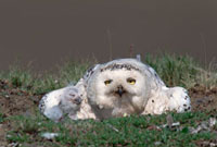 Snowy Owl (Nyctea scandiaca) mother at nest with chick,Taym