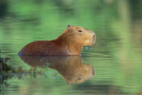 Capybara (Hydrochoerus hydrochaeris) wading through water,P