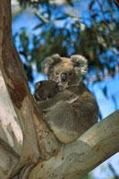 Koala (Phascolarctos cinereus) mother with baby in Eucalyptu