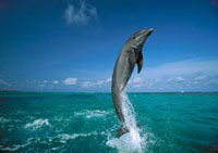 Bottlenose Dolphin (Tursiops truncatus) leaping from water,