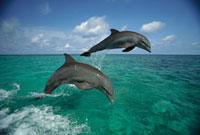 Bottlenose Dolphin (Tursiops truncatus) pair leaping�CHondur