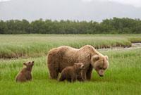 Grizzly Bear (Ursus arctos horribilis) female with spring cu
