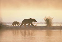 Grizzly Bear (Ursus arctos horribilis) mother and cub in ear