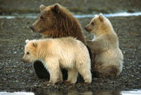 Grizzly Bear (Ursus arctos horribilis) female with her two s