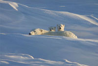 Polar Bear (Ursus maritimus) mother with two 12 week old cub