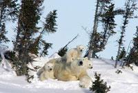 Polar Bear (Ursus maritimus) trio of three month old cubs an