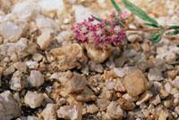 Grasshopper camouflaged as a stone�CNamib Desert�CNamibia