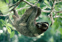 Brown-throated Three-toed Sloth (Bradypus variegatus) female