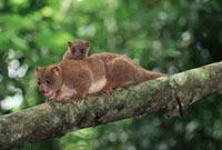 Dwarf Cuscus (Strigocuscus celebensis) mother and young in t