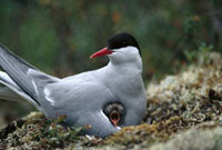 Arctic Tern (Sterna paradisaea) parent with calling chick,b