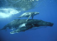 Humpback Whale (Megaptera novaeangliae) mother and calf,Ton