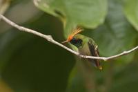 チャカザリハチドリ