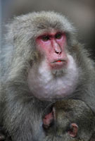 Japanese Macaque (Macaca fuscata) female with cheek pouches