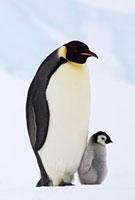 Emperor Penguin (Aptenodytes forsteri) with young,Antarctic
