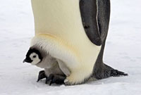 Emperor Penguin (Aptenodytes forsteri) chick on the feet of